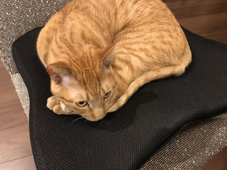 クッションに座る猫